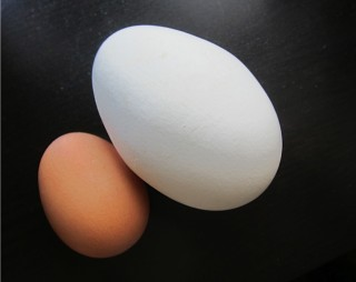 Does size matter? Brown egg (hen) white egg (goose)