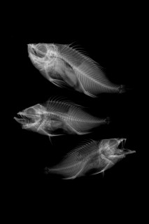 Acadian redfish. Photo by Noel Alfonso/Roger Bull, Canadian Museum of Nature.