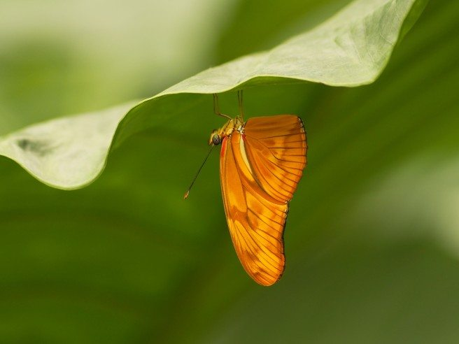 A Julia butterfly hangs from a leaf at Niagara Parks' Butterfly Conservatory in Niagara Falls, Ontario. Photo: Pamela Beale Cookstown, Ontario Winner of Up Close category in Canadian Geographic's 2012 Photography contest — works shown at Canadian Nature Museum