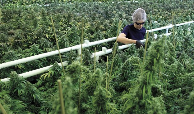 INSIDE TWEED: Examining the government's new approach to medical marijuana
