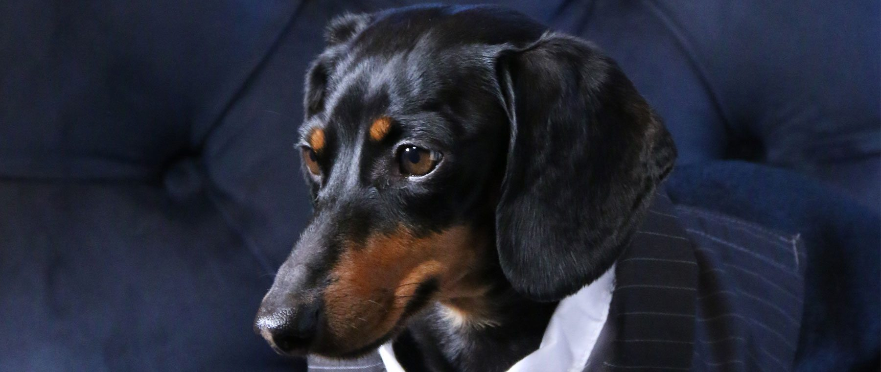 Meet Ottawa's very own pet celeb: Crusoe, wiener dog extraordinaire