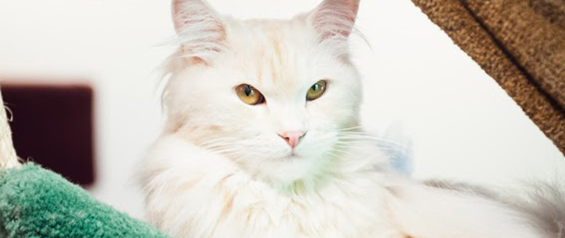 Coffee Cat — Hypoallergenic kitties purrfect with latte