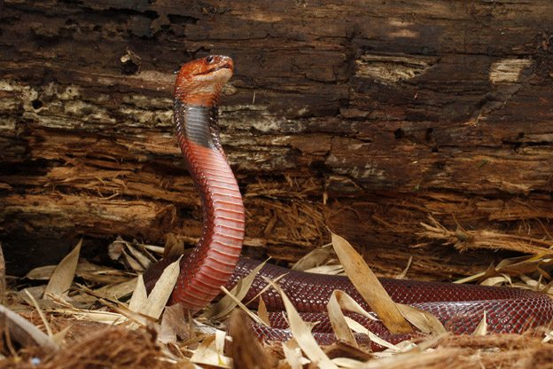 Red Spitting Cobra - photo Joe McDonald_Ottawa_Magazine