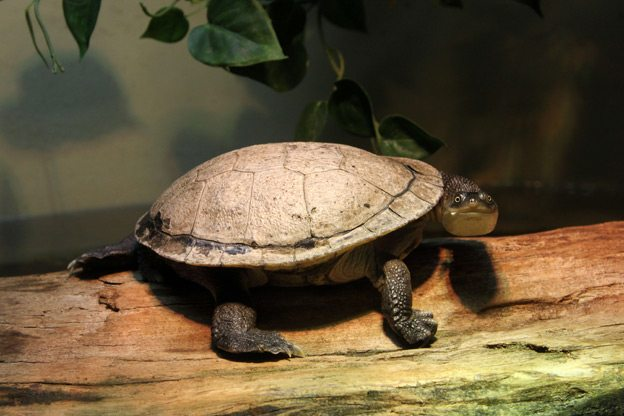 Snake-necked-Turtle-photo-by-Leslie-Thompson_Ottawa_Magazine