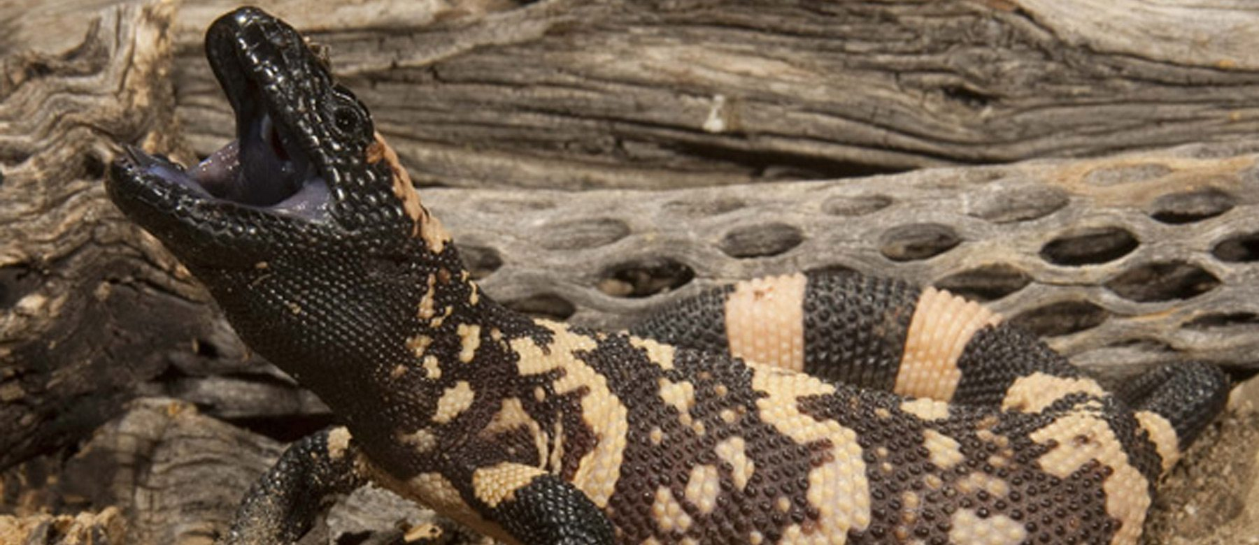 Feared and misunderstood: Reptiles. Interactive exhibit on now at Canadian Museum of Nature