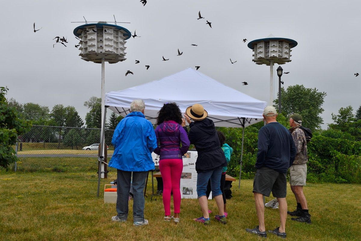On the day of the banding, a tent is set up and the public is invited to watch and learn. The martins, which are used to having humans in their space, are unfazed. Photo: Tony Beck