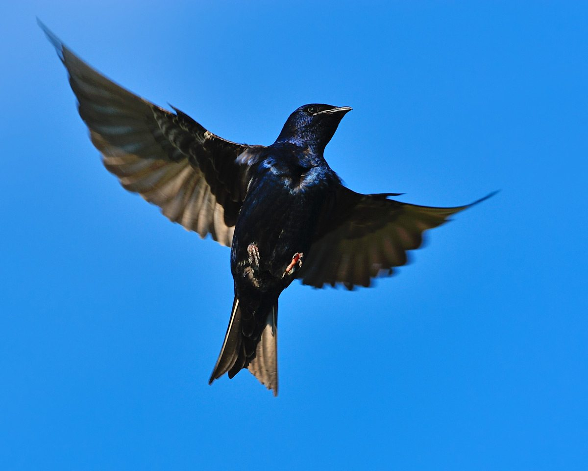 The Purple Martin Project combines purple martin tracking and monitoring with education and habitat improvement programs. Parsing the site yields a wealth of information about these amazing birds and the research being done to save them. Photo: Tony Beck